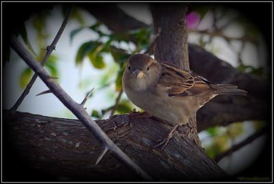 House Sparrow 112312