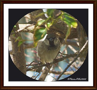 Jan 25, 2011...Clearwater, Fl. 33761....House Sparrow