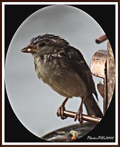 20110117-IMG_8792House Sparrow