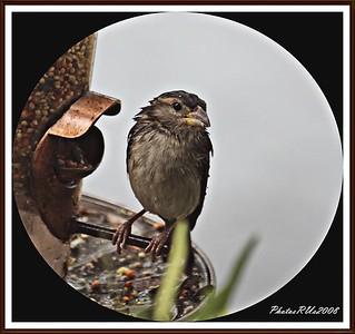 20110117-IMG_8798House Sparrow