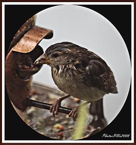 20110117-IMG_8797House Sparrow