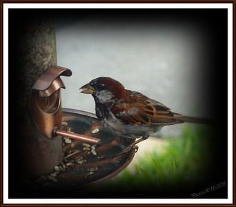 """""""House Sparrow"""""""