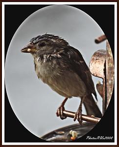20110117-IMG_8792House Sparrow-1