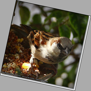 Oct  6 2012  House Sparrow  Clearwater,Fl  _IMG_6420_