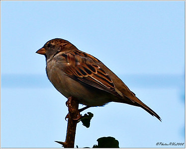 house sparrow..clearwater,florida..sept 18, 2011