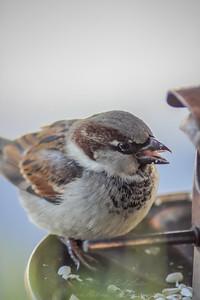 2010-12-14__0071_house sparrow