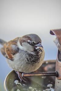 2010-12-14__0076_house sparrow