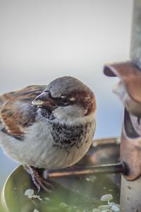 2010-12-14__0068_house sparrow