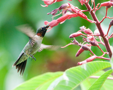 Hummingbird - Ruby Throated Hummingbird (m) at Red Buckeye