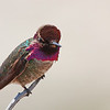 """Anna's Hummingbird seen at Crystal Cove in Southern California  <div class=""""ss-paypal-button""""><br><form target=""""paypal"""" action=""""https://www.paypal.com/cgi-bin/webscr"""" method=""""post"""" ><input type=""""hidden"""" name=""""cmd"""" value=""""_cart""""><input type=""""hidden"""" name=""""business"""" value=""""947PXEXBHP9H8""""><input type=""""hidden"""" name=""""lc"""" value=""""US""""><input type=""""hidden"""" name=""""item_name"""" value=""""Anna&#x27;s Hummingbird seen at Crystal Cove in Southern California""""><input type=""""hidden"""" name=""""item_number"""" value=""""http:&#x2F;&#x2F;www.werthwildphotography.com&#x2F;Animals&#x2F;Birds&#x2F;Humming-Birds&#x2F;i-2ZKdPBx""""><input type=""""hidden"""" name=""""button_subtype"""" value=""""products""""><input type=""""hidden"""" name=""""no_note"""" value=""""0""""><input type=""""hidden"""" name=""""cn"""" value=""""Add special instructions to the seller:""""><input type=""""hidden"""" name=""""no_shipping"""" value=""""2""""><input type=""""hidden"""" name=""""currency_code"""" value=""""USD""""><input type=""""hidden"""" name=""""shipping"""" value=""""4.00""""><input type=""""hidden"""" name=""""add"""" value=""""1""""><input type=""""hidden"""" name=""""bn"""" value=""""PP-ShopCartBF:btn_cart_LG.gif:NonHosted""""><table class=""""printSize""""><tr><td><input type=""""hidden"""" name=""""on0"""" value=""""Print size"""">Print size</td></tr><tr><td><select name=""""os0""""> <option value=""""5 x 7"""">5 x 7 $14.00 USD</option> <option value=""""8 x 10"""">8 x 10 $20.00 USD</option> <option value=""""8 x 12"""">8 x 12 $20.00 USD</option> <option value=""""11 x 14"""">11 x 14 $28.00 USD</option> <option value=""""12 x 18"""">12 x 18 $35.00 USD</option> <option value=""""16 x 20"""">16 x 20 $50.00 USD</option></select> </td></tr></table><input type=""""hidden"""" name=""""currency_code"""" value=""""USD""""><input type=""""hidden"""" name=""""option_select0"""" value=""""5 x 7""""><input type=""""hidden"""" name=""""option_amount0"""" value=""""14.00""""><input type=""""hidden"""" name=""""option_select1"""" value=""""8 x 10""""><input type=""""hidden"""" name=""""option_amount1"""" value=""""20.00""""><input type=""""hidden"""" name=""""option_select2"""" value=""""8 x 12""""><input type=""""hidden"""" name=""""option_amount2"""" value=""""20.00""""><input type=""""hidden"""" name=""""option_select3"""" value=""""11 x 14""""><input type=""""hidden"""" name"""