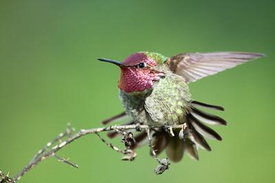 Common name: Anna's Hummingbird  Kingdom: Animalia Phylum: Chordata  Class: Aves Order: Trochiliformes Family: Trochilidae Genus: Calypte Species: C. anna  Print size 5 x 7 $14.00 USD 8 x 10 $20.00 USD 8 x 12 $20.00 USD 11 x 14 $28.00 USD 12 x 18 $35.00 USD 16 x 20 $50.00 USD