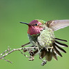 """Common name: Anna's Hummingbird  Kingdom: Animalia Phylum: Chordata  Class: Aves Order: Trochiliformes Family: Trochilidae Genus: Calypte Species: C. anna  <div class=""""ss-paypal-button""""><br><form target=""""paypal"""" action=""""https://www.paypal.com/cgi-bin/webscr"""" method=""""post"""" ><input type=""""hidden"""" name=""""cmd"""" value=""""_cart""""><input type=""""hidden"""" name=""""business"""" value=""""947PXEXBHP9H8""""><input type=""""hidden"""" name=""""lc"""" value=""""US""""><input type=""""hidden"""" name=""""item_name"""" value=""""Common name: Anna&#x27;s Hummingbird  Kingdom: Animalia Phylum: Chordata  Class: Aves Order: Trochiliformes Family: Trochilidae Genus: Calypte Species: C. anna""""><input type=""""hidden"""" name=""""item_number"""" value=""""http:&#x2F;&#x2F;www.werthwildphotography.com&#x2F;Animals&#x2F;Birds&#x2F;Humming-Birds&#x2F;i-NhcwkFx""""><input type=""""hidden"""" name=""""button_subtype"""" value=""""products""""><input type=""""hidden"""" name=""""no_note"""" value=""""0""""><input type=""""hidden"""" name=""""cn"""" value=""""Add special instructions to the seller:""""><input type=""""hidden"""" name=""""no_shipping"""" value=""""2""""><input type=""""hidden"""" name=""""currency_code"""" value=""""USD""""><input type=""""hidden"""" name=""""shipping"""" value=""""4.00""""><input type=""""hidden"""" name=""""add"""" value=""""1""""><input type=""""hidden"""" name=""""bn"""" value=""""PP-ShopCartBF:btn_cart_LG.gif:NonHosted""""><table class=""""printSize""""><tr><td><input type=""""hidden"""" name=""""on0"""" value=""""Print size"""">Print size</td></tr><tr><td><select name=""""os0""""> <option value=""""5 x 7"""">5 x 7 $14.00 USD</option> <option value=""""8 x 10"""">8 x 10 $20.00 USD</option> <option value=""""8 x 12"""">8 x 12 $20.00 USD</option> <option value=""""11 x 14"""">11 x 14 $28.00 USD</option> <option value=""""12 x 18"""">12 x 18 $35.00 USD</option> <option value=""""16 x 20"""">16 x 20 $50.00 USD</option></select> </td></tr></table><input type=""""hidden"""" name=""""currency_code"""" value=""""USD""""><input type=""""hidden"""" name=""""option_select0"""" value=""""5 x 7""""><input type=""""hidden"""" name=""""option_amount0"""" value=""""14.00""""><input type=""""hidden"""" name=""""option_select1"""" value=""""8 x 10""""><input type=""""hidden"""" name=""""option_amount1"""" value=""""20.00""""><input type=""""hi"""