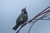 Anna's Hummingbird in fog
