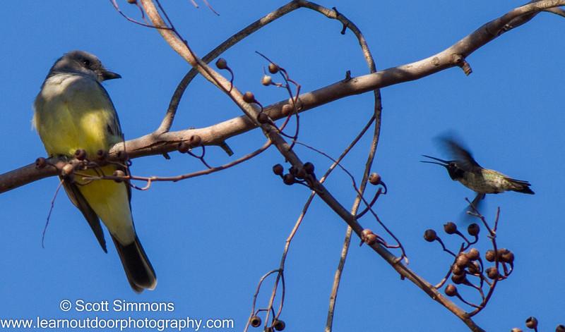 Cassin's Kingbird with Anna's Hummingbird