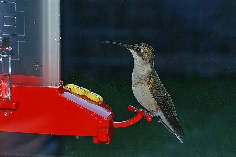 Hummingbird at Window Feeder