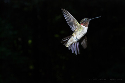 Hummingbirds at the feeder off the deck... These were from an experimental series of shots working out flash compensation and higher speed photography using a light trigger.