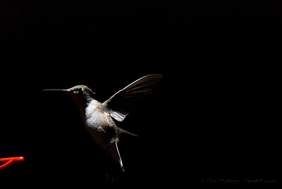 Hummingbirds at the feeder off the deck... These were from an experimental series of shots working out flash compensation and higher speed photography using a light trigger.  I like this one because the partial lighting field makes the form more mysterious to me...