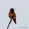 Rufous Hummingbird-4591