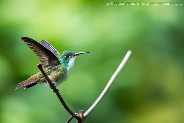 White Chested Emerald Hummingbird