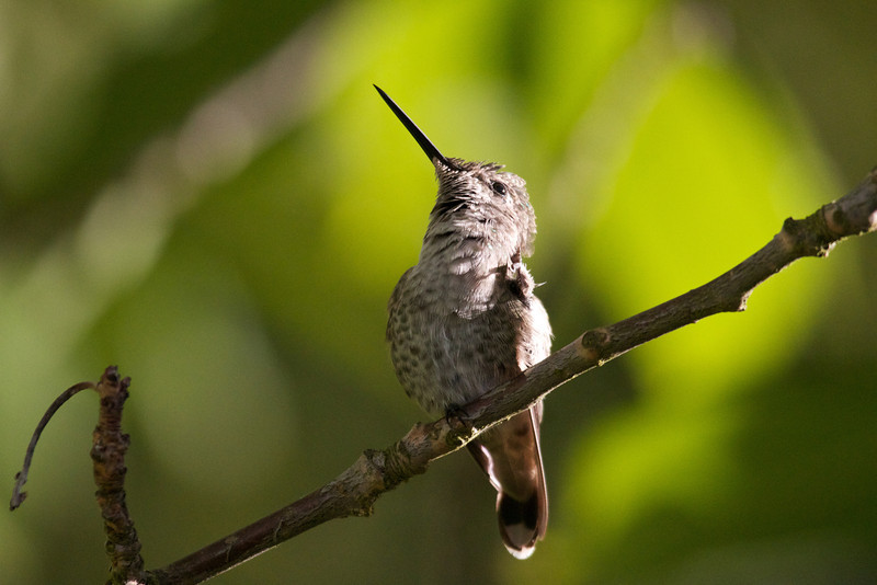 IMAGE: http://photos.deepaksingh.net/Animals/Birds/Hummingbirds/i-sn4ZLrZ/0/L/Hummer-taking-in-the-setting-L.jpg