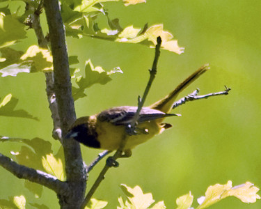 Oriole - Orchard Oriole (juv m) D3872