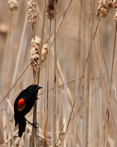 Blackbird - Red Wing Blackbird (Typical) (m) - 2568