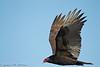 Turkey Vuture, Cosumnes River Preserve, CA