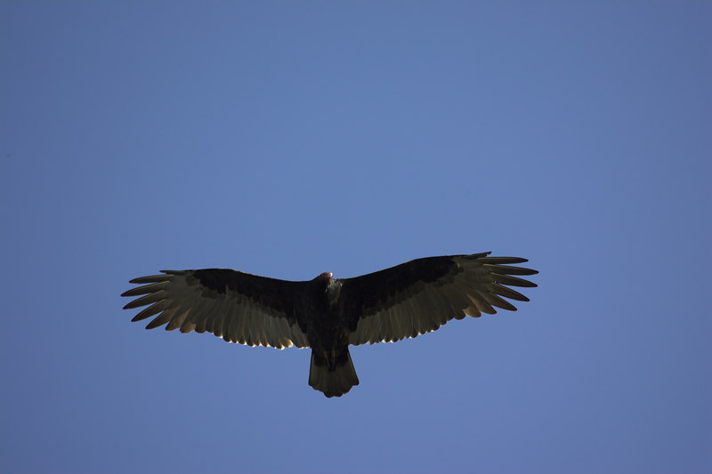 Turkey Vulture over Cambria CA