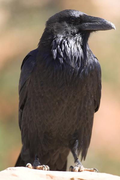 Raven, Bryce