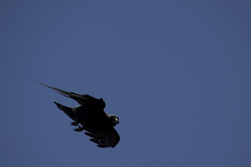 Raven, Grand Canyon NP