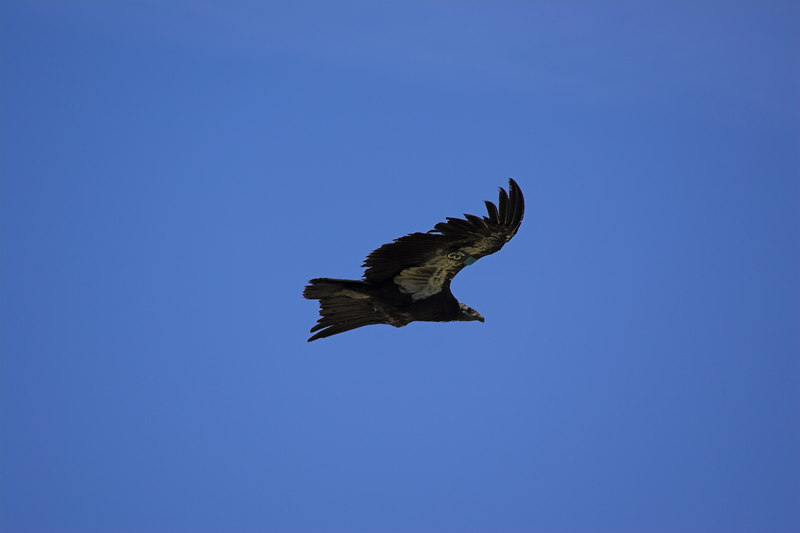 Ca Condor Soar, Grand Canyon NP