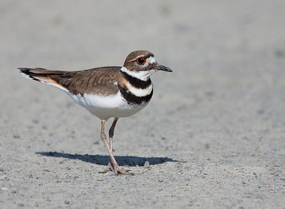 A beautiful killdeer seen at Ridgefield National Wildlife Refuge. He was trying to distract me from his mate and 5 tiny offspring, and it worked!  Print size 5 x 7 $14.00 USD 8 x 10 $20.00 USD 8 x 12 $20.00 USD 11 x 14 $28.00 USD 12 x 18 $35.00 USD 16 x 20 $50.00 USD