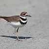 """A beautiful killdeer seen at Ridgefield National Wildlife Refuge. He was trying to distract me from his mate and 5 tiny offspring, and it worked!  <div class=""""ss-paypal-button""""><br><form target=""""paypal"""" action=""""https://www.paypal.com/cgi-bin/webscr"""" method=""""post"""" ><input type=""""hidden"""" name=""""cmd"""" value=""""_cart""""><input type=""""hidden"""" name=""""business"""" value=""""947PXEXBHP9H8""""><input type=""""hidden"""" name=""""lc"""" value=""""US""""><input type=""""hidden"""" name=""""item_name"""" value=""""A beautiful killdeer seen at Ridgefield National Wildlife Refuge. He was trying to distract me from his mate and 5 tiny offspring, and it worked!""""><input type=""""hidden"""" name=""""item_number"""" value=""""http:&#x2F;&#x2F;www.werthwildphotography.com&#x2F;Animals&#x2F;Birds&#x2F;Killdeer&#x2F;i-4bnM32W""""><input type=""""hidden"""" name=""""button_subtype"""" value=""""products""""><input type=""""hidden"""" name=""""no_note"""" value=""""0""""><input type=""""hidden"""" name=""""cn"""" value=""""Add special instructions to the seller:""""><input type=""""hidden"""" name=""""no_shipping"""" value=""""2""""><input type=""""hidden"""" name=""""currency_code"""" value=""""USD""""><input type=""""hidden"""" name=""""shipping"""" value=""""4.00""""><input type=""""hidden"""" name=""""add"""" value=""""1""""><input type=""""hidden"""" name=""""bn"""" value=""""PP-ShopCartBF:btn_cart_LG.gif:NonHosted""""><table class=""""printSize""""><tr><td><input type=""""hidden"""" name=""""on0"""" value=""""Print size"""">Print size</td></tr><tr><td><select name=""""os0""""> <option value=""""5 x 7"""">5 x 7 $14.00 USD</option> <option value=""""8 x 10"""">8 x 10 $20.00 USD</option> <option value=""""8 x 12"""">8 x 12 $20.00 USD</option> <option value=""""11 x 14"""">11 x 14 $28.00 USD</option> <option value=""""12 x 18"""">12 x 18 $35.00 USD</option> <option value=""""16 x 20"""">16 x 20 $50.00 USD</option></select> </td></tr></table><input type=""""hidden"""" name=""""currency_code"""" value=""""USD""""><input type=""""hidden"""" name=""""option_select0"""" value=""""5 x 7""""><input type=""""hidden"""" name=""""option_amount0"""" value=""""14.00""""><input type=""""hidden"""" name=""""option_select1"""" value=""""8 x 10""""><input type=""""hidden"""" name=""""option_amount1"""" value=""""20.00""""><input type=""""hidden"""" name=""""option_select2"""" """