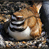 Killdeer and eggs at Jefferson HS,Tampa,Fl....©PhotosRUs2008