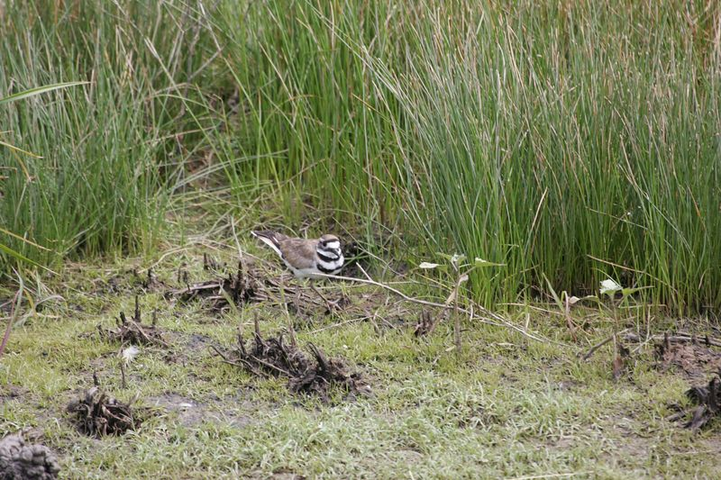 Killdeer at Stone Lakes Preserve CA May 2005