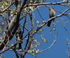 Rusty Blackbirds (Yard birds, Harrisonburg, VA 11-15-19)