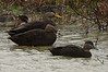 American Black Ducks - 11-11-09, Leonard's Pond.
