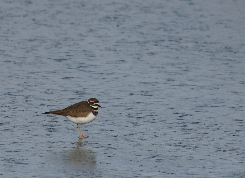 Killdeer, Leonard's Pond 12/6/09