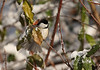 Carolina Chickadee<br /> Lake Shenandoah 12/6/09
