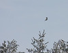 Pileated Woodpecker over white pines<br /> Lake Shenandoah 12/6/09