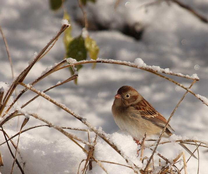 Field Sparrow<br /> Lake Shenandoah 12/6/09