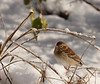Field Sparrow<br /> Lake Shenandoah 12/6/09
