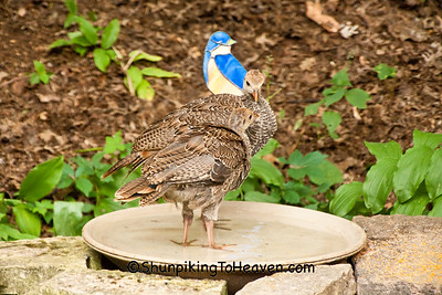 Wild Turkey Poults in Birdbath, Dane County, Wisconsin