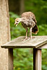 Wild Turkey Poult on Birdfeeder, Dane County, Wisconsin