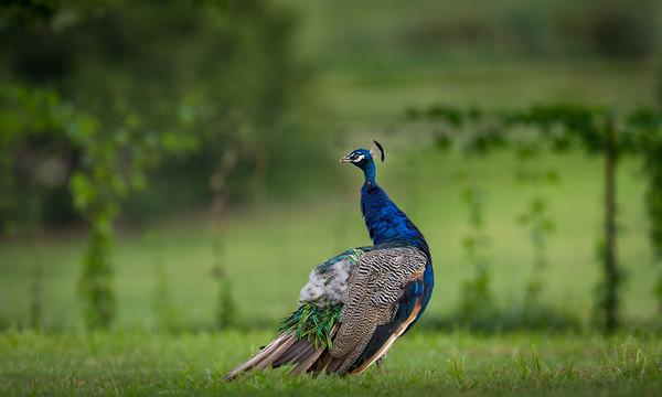 Beautiful peacock. Love the colors