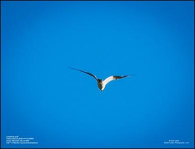 P7020054_laughing gull