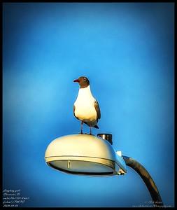 P4060008_Laughing gull