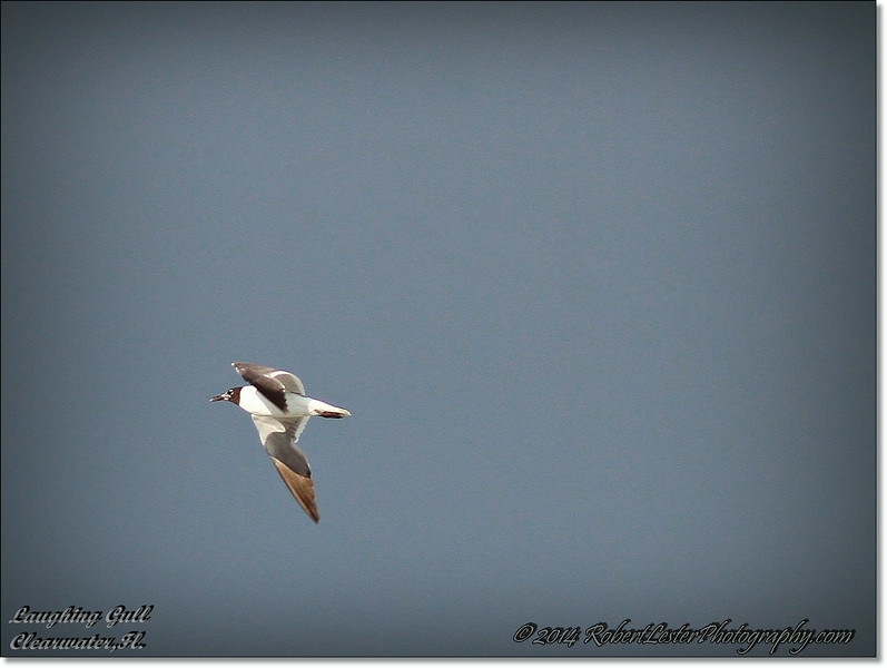 2014-07-25_IMG_0789__Laughing gull