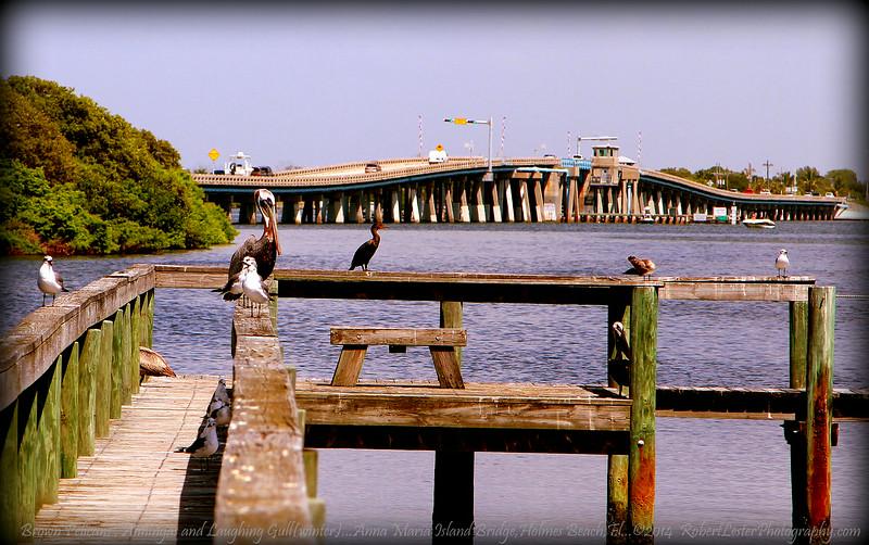 Brown Pelicans , Cormorant and Laughing Gull(winter)...Anna Maria Island Bridge,Holmes Beach,Fl...©2014  RobertLesterPhotography.com