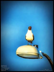P4060007_Laughing gull